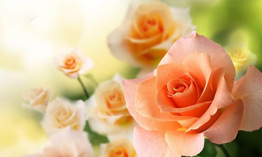 Роза: описание, характеристики и особенности, интересные факты о цветке