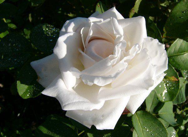 Роза Frau Karl Druschki