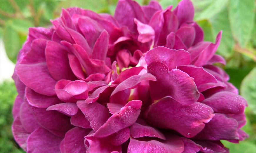 Роза Галиция