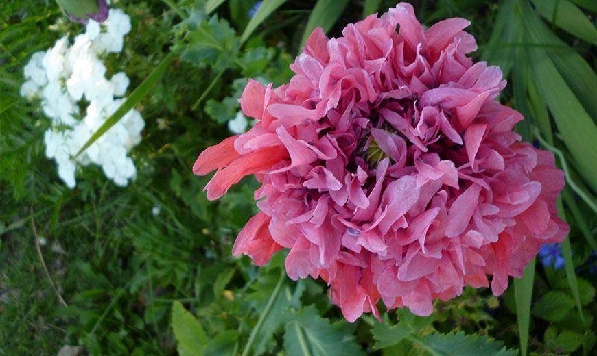 Махровый розовый мак