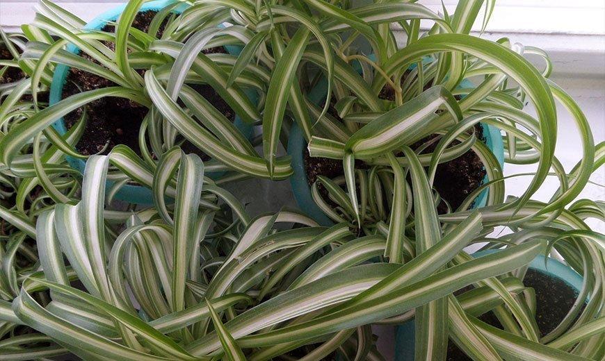 Основные виды хлорофитума и уход за растением в домашних условиях