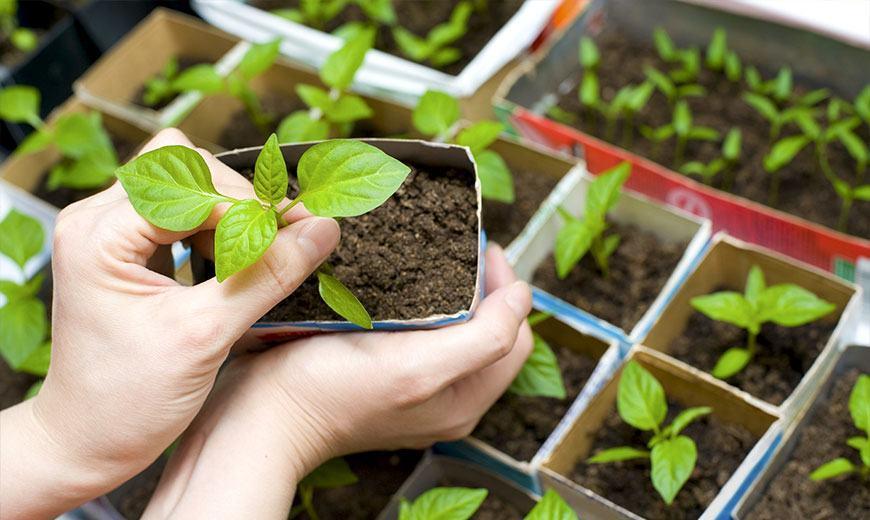 Выращивание семян для рассады