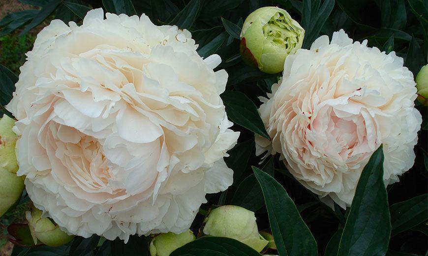 Бело-цветковый пион