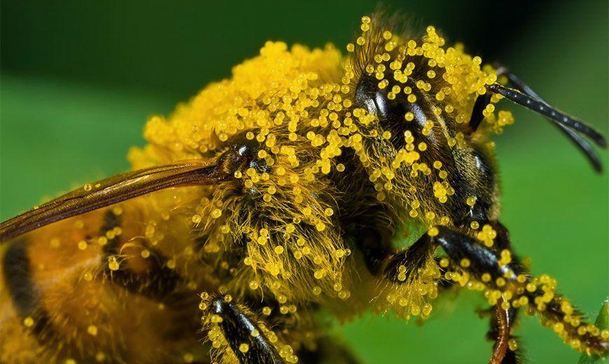 Цветочная пыльца пчел