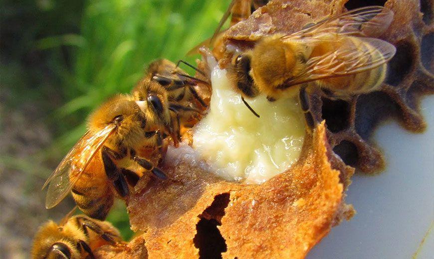 Пчелиное лакомство
