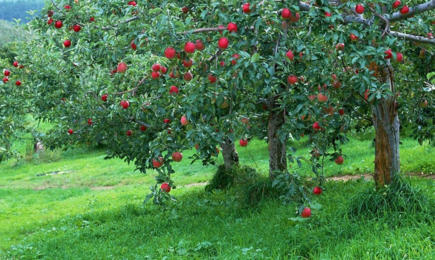 Sale of land with fruit trees in Padua