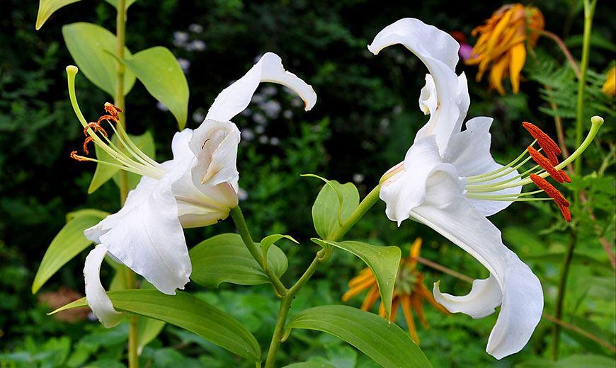Лилия цветок