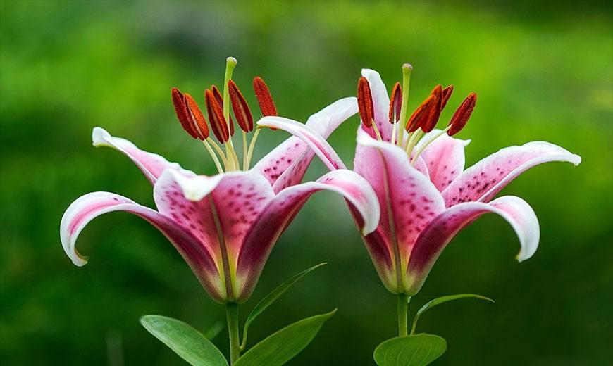 Лилия белорозовая