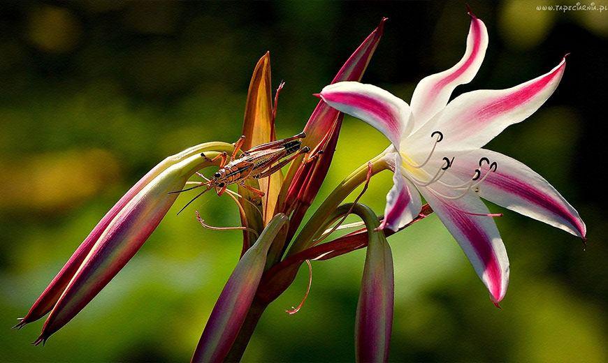 Изящная лилия