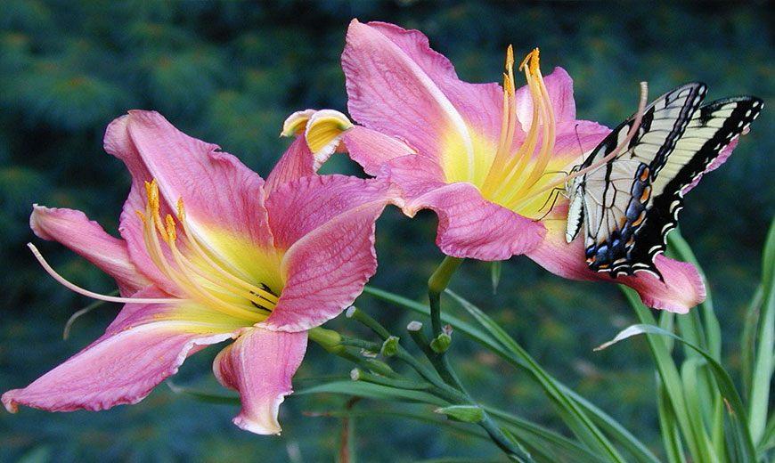 Розовая лилия с бабочкой