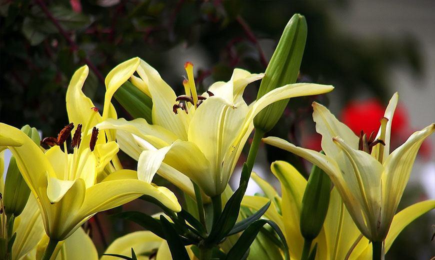 Нежные желтые лилии