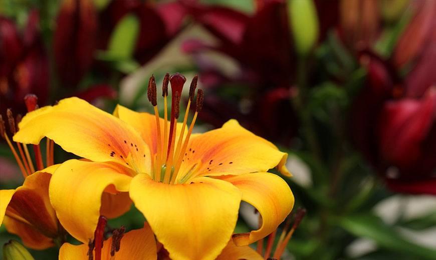 Нежный цветок лилии
