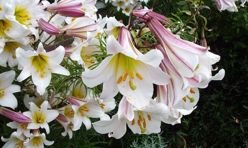 Нежные длинноцветковые лилии