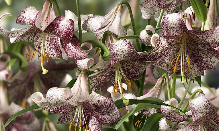 Экзотические лилии