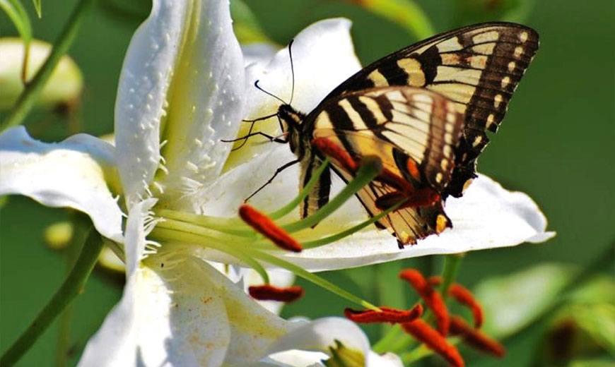Белая лилия с бабочкой