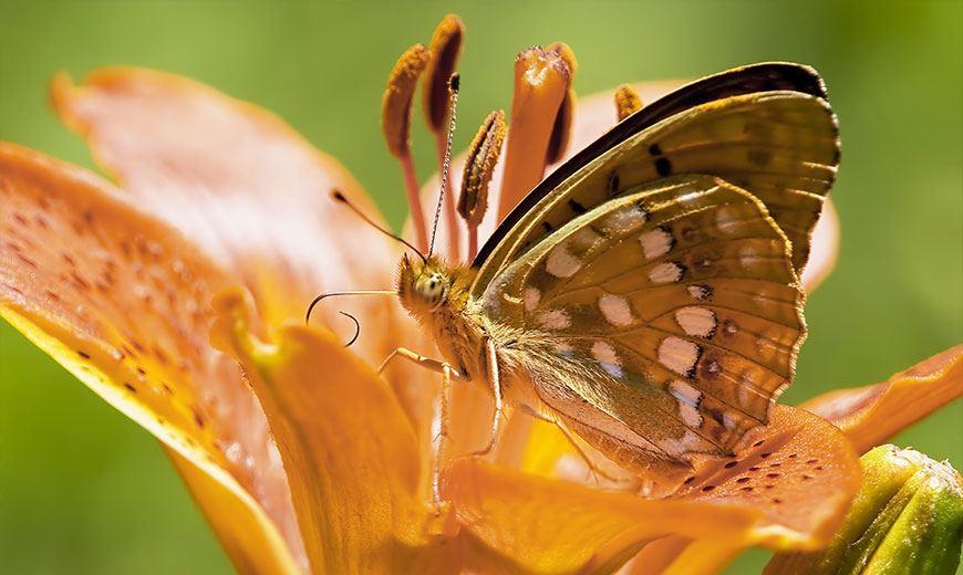 Желтая лилия с бабочкой
