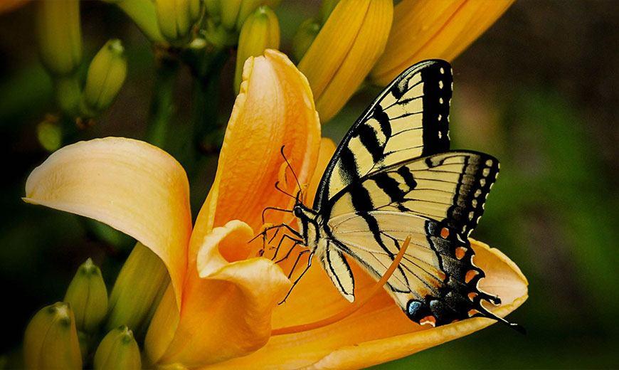 Оранжевая лилия с бабочкой