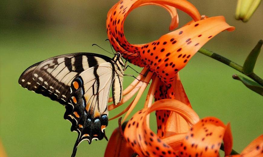 Тигровая лилия с бабочкой