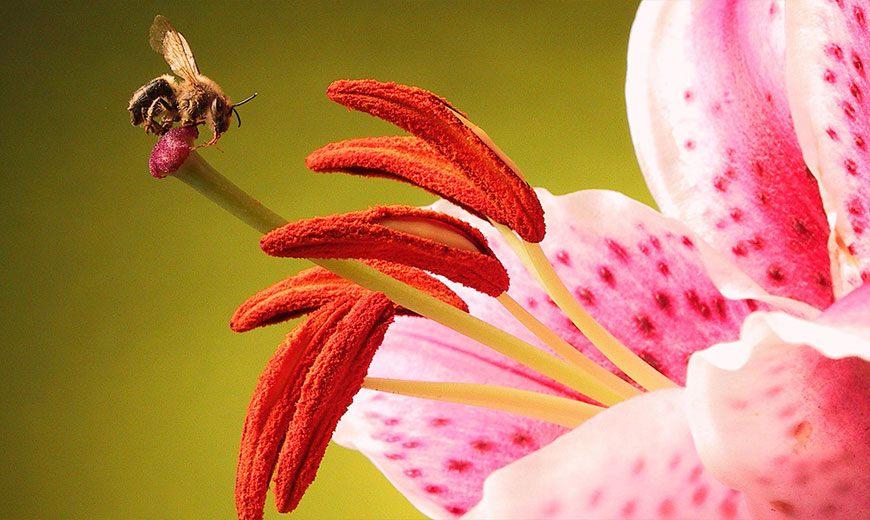 Лилия с пчелой