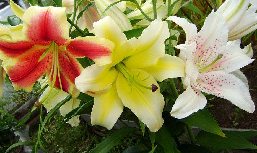 Лилии разные