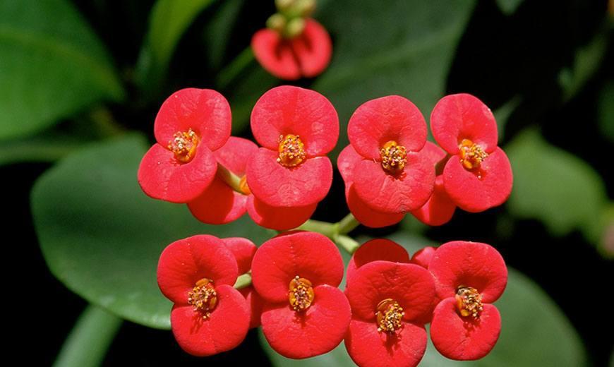 Фото цветка эуфорбия