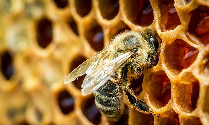 Пчела и соты