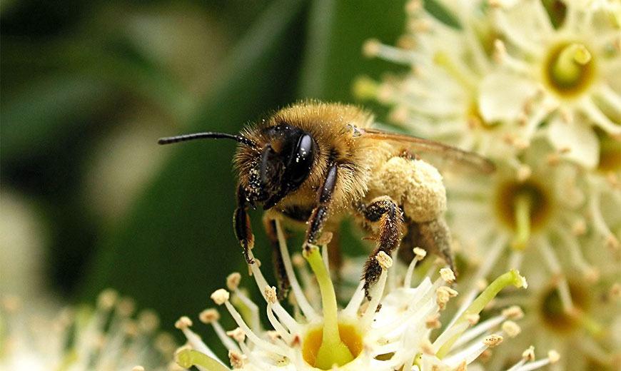 Пчела собирает нектар и пыльцу