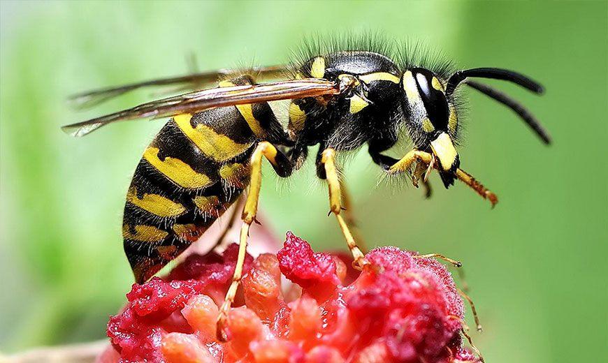Пчела разведчица