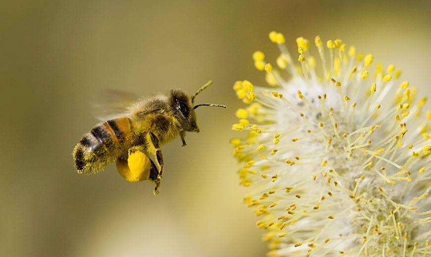 Пыльца для пчелы