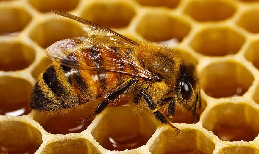 Пчела собирает мед