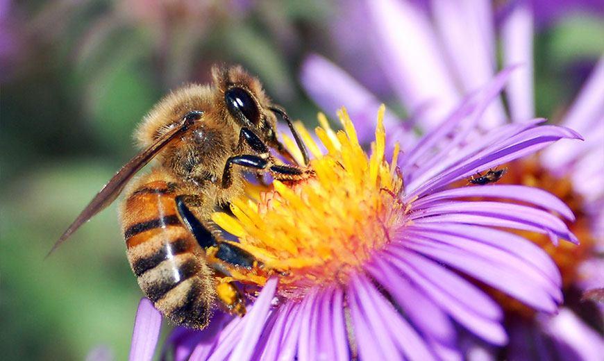 Пчела трудится