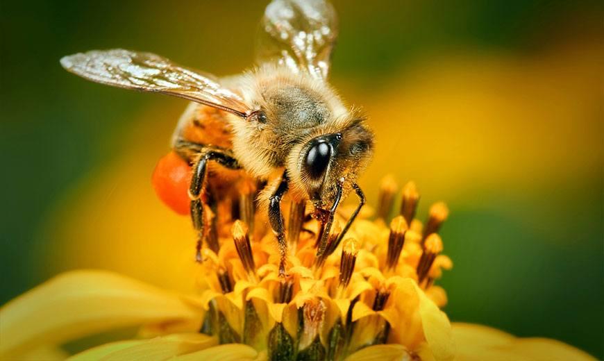 Милая пчелка