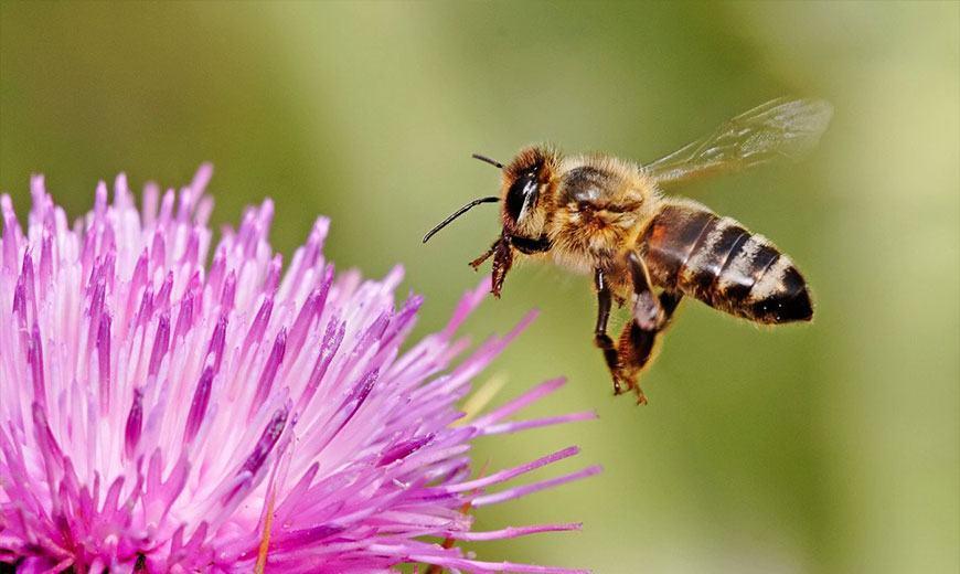 Пчела на артишоке