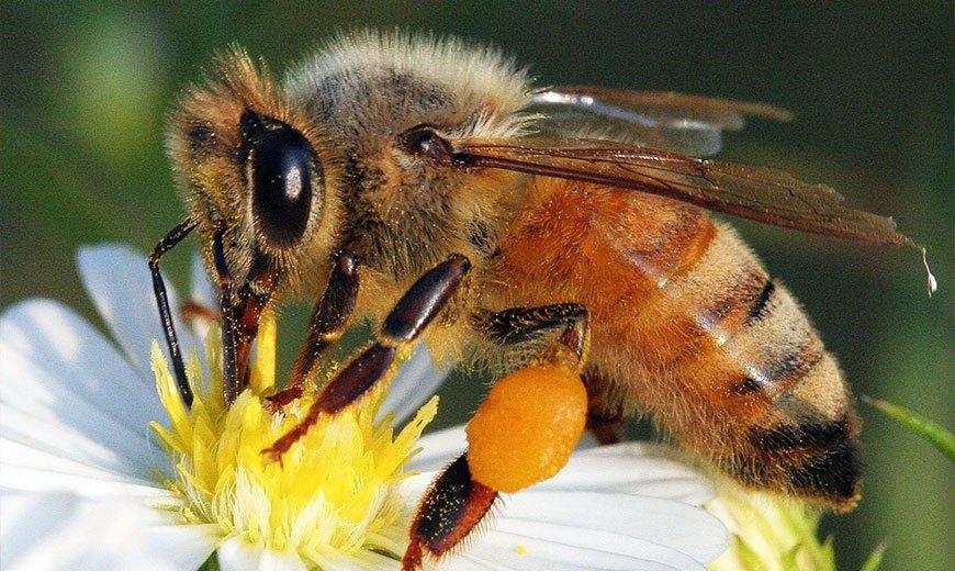 Пчела на ромашке