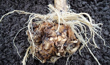 Заболевание кила растений