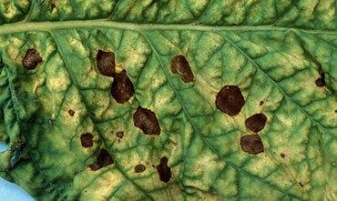 Черная пятнистость растений