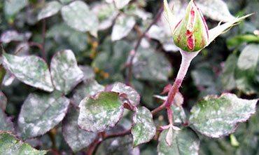 Защита растений от болезней