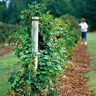 Шпалера для садовой ежевики