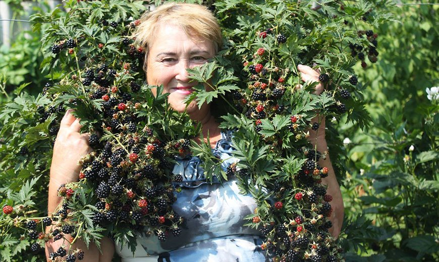 Огромный урожай ежевики