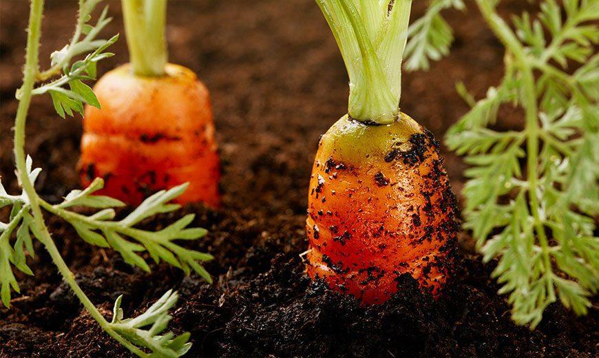 Хранение урожая моркови