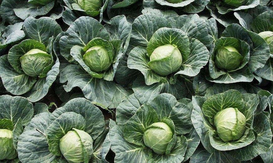 Хранение урожая капусты