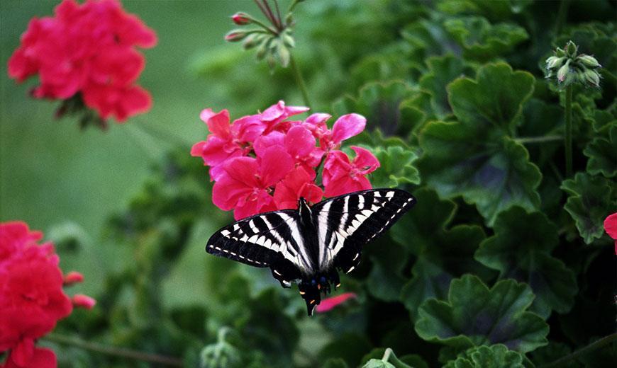 Садовая пеларгония