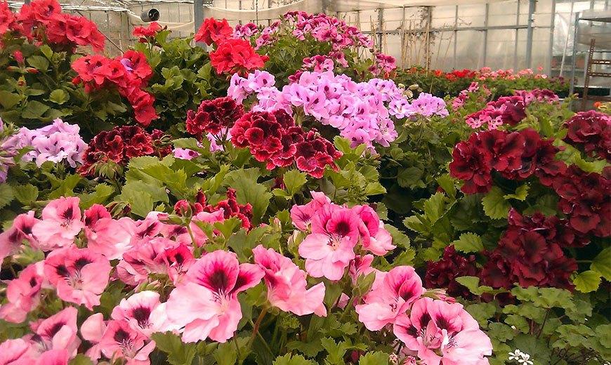 Пышное цветение пеларгонии