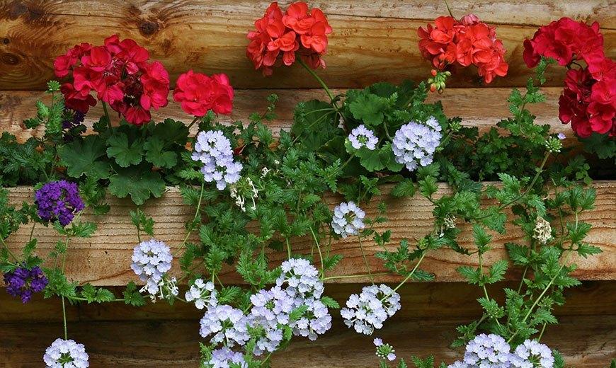 Пеларгония в саду