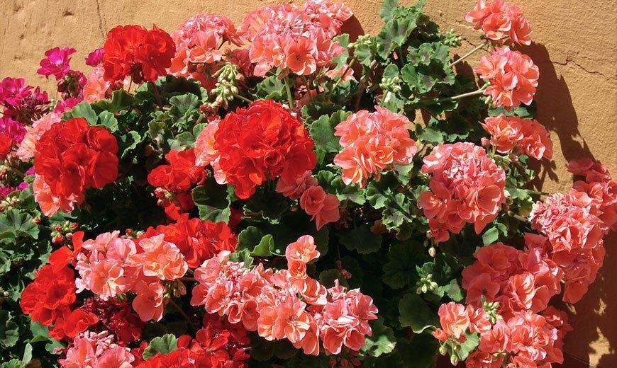 Пышное цветение герани