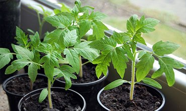 Посадка рассады томатов в марте
