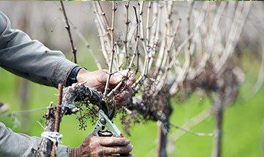 Обрезка винограда в марте