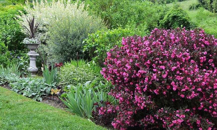 Многолетняя вейгела для сада