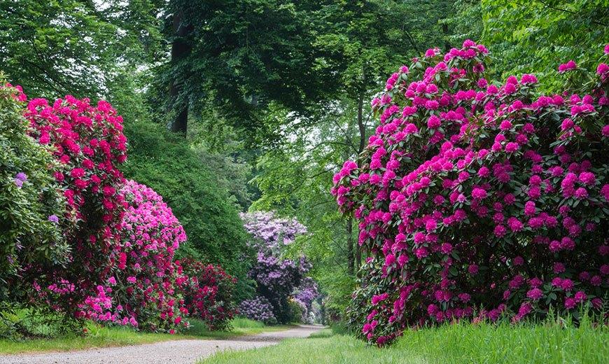 Многолетние рододендроны в парке