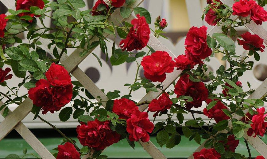 Многолетний кустарник роза